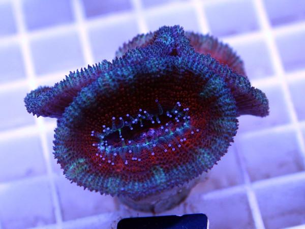 Acanthastrea spec. Frag (21)