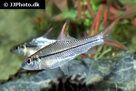 Cyclocheilichthys janthochir - Schöne Flussbarbe, 15-17cm - nice!