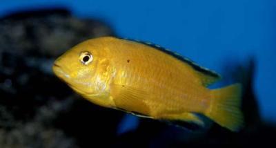 Labidochromis caeruleus - Yellow