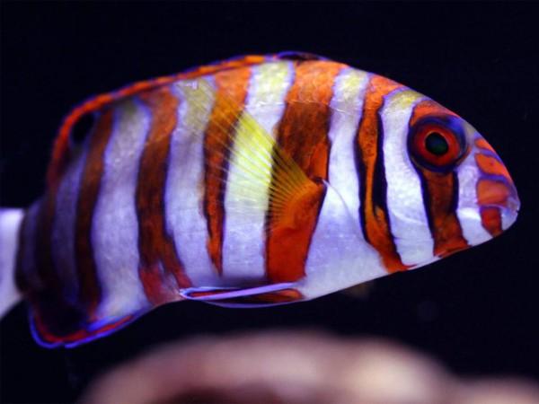 Choerodon fasciatus - Harlekin-Lippfisch