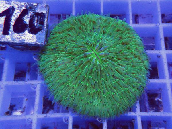 Fungia spec. green (160)