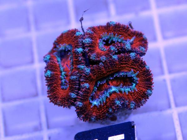 Acanthastrea spec. Frag (15)