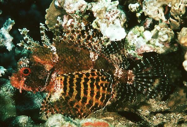Dendrochirus brachypterus - Zwergfeuerfisch