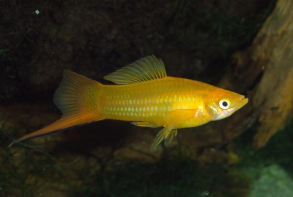 Xiphophorus hellerii - Marigold Schwertträger