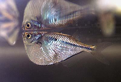 Gasteropelecus sternicla - Silberbeilbauchfisch