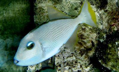 Xanthichthys auromarginatus - Blaukehl-Drückerfisch, Männchen