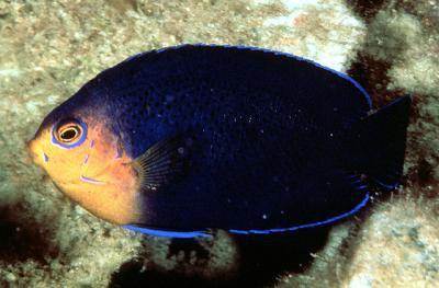 Centropyge argi - blauer Zwergkaiser