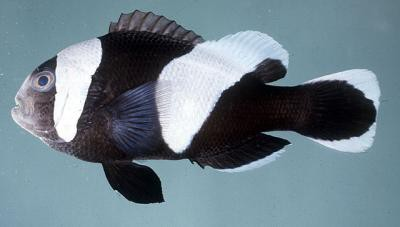 Amphiprion polymnus - Sattelfleck-Anemonenfisch