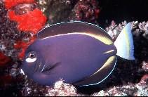Acanthurus nigricans - Samt-Doktorfisch