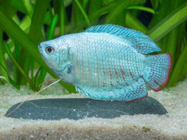 Colisa lalia - Zwergfadenfisch, cobalt-blau