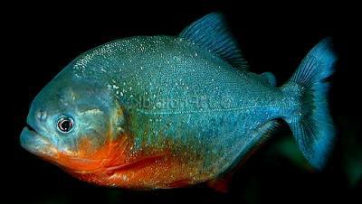 Pygocentrus nattereri - Roter Piranha, 5-6cm