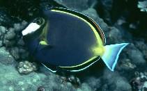 Acanthurus japonicus - Philippinen-Doktorfisch