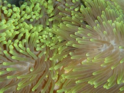 Heteractis magnifica - Prachtanemone (langtentaklige Anemone)