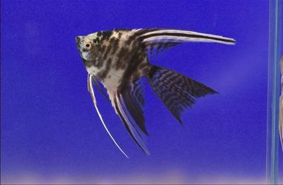 Pterophyllum scalare - Marmor Skalar