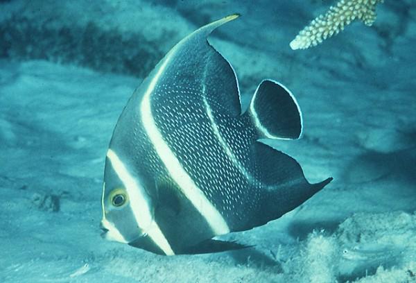 Pomacanthus paru - Franzosenkaiser juvenile