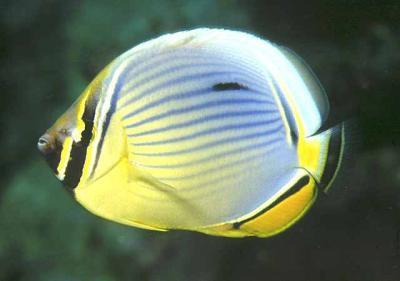 Chaetodon trifasciatus - Rippelstreifen-Falterfisch