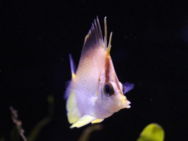 Prognathodes aculeatus - Karibischer Pinzettfisch