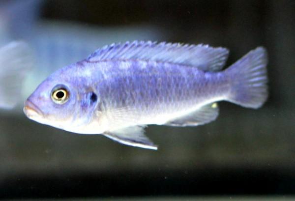 Maylandia callainos - Bright Blue