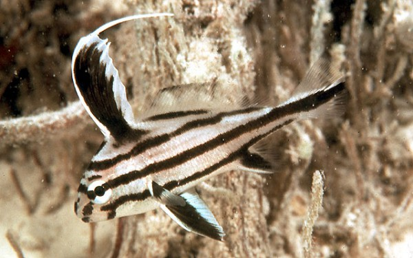 Pareques acuminatus - Streifen-Ritterfisch