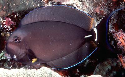 Acanthurus leucocheilus - Weißlippen-Doktorfisch