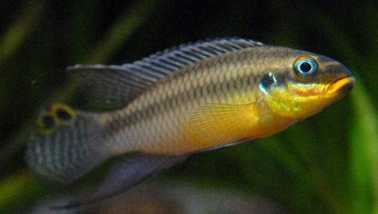 Pelvicachromis taeniatus - Smaragdprachtbarsch, Dehane