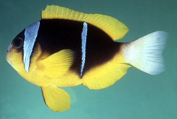 Amphiprion allardi - Afrikanischer Anemonenfisch