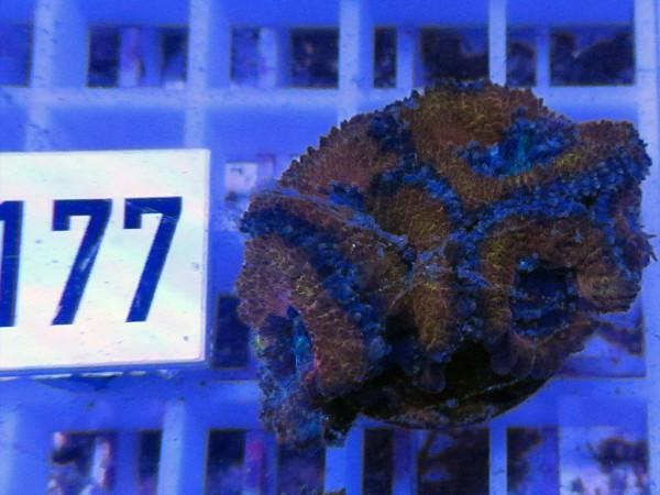 Acanthastrea spec. Frag (177)