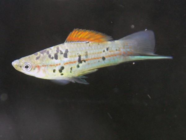Xiphophorus helleri - Guentheri Rio Atoyac