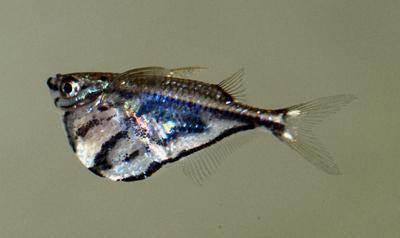Carnegiella strigata - Gabel-Beilbauchfisch