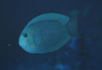 Acanthurus nubilus - Nadelstreifen-Doktorfisch