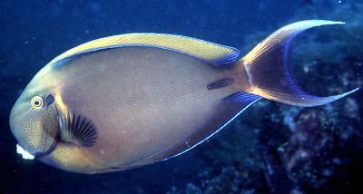 Acanthurus bariene - Bariene-Doktorfisch