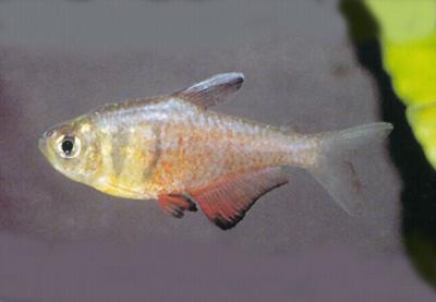 Hyphessobrycon flammeus - Roter von Rio