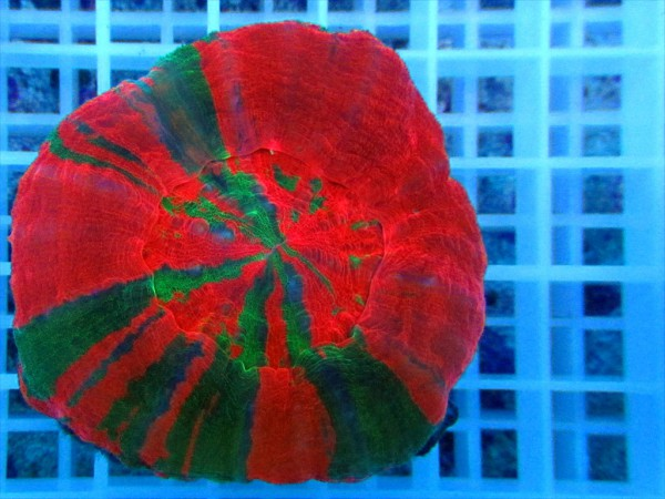 Scolymia australis multicolor
