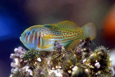 Gobiodon histrio - Grüne Korallengrundel