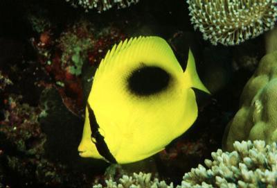 Chaetodon speculum - Einfleck-Falterfisch