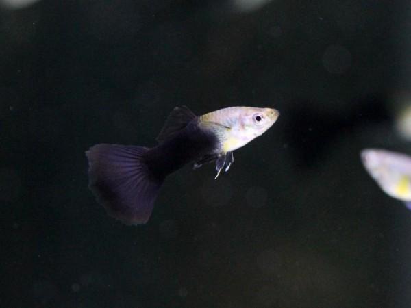 Poecilia reticulata - Schwarz Guppy Weibchen