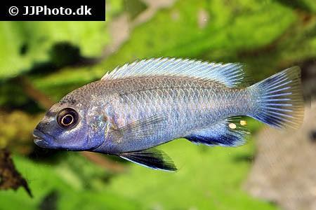 Pseudotropheus sp. - Polit 4 cm