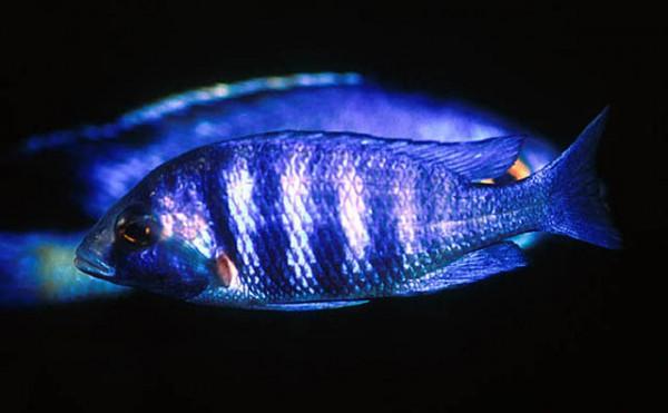 Placidochromis phenochilus - Mdoka white lips 4-5 sm