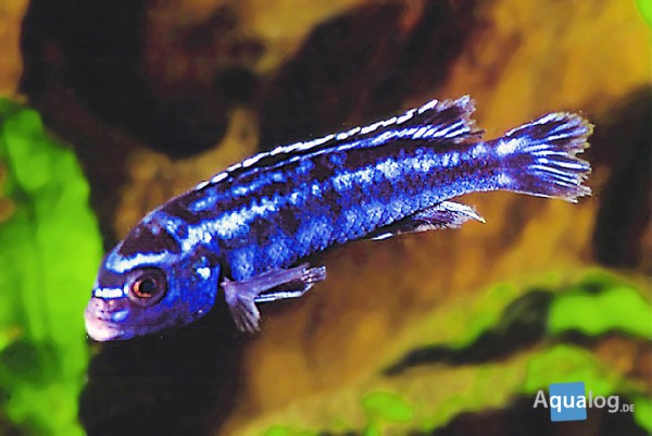 Melanochromis johanni - Kobaltorangebuntbarsch