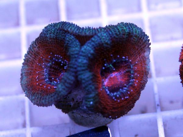 Acanthastrea spec. Frag (16)