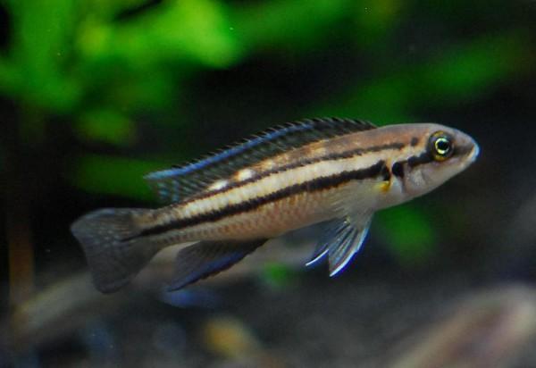 Chalinochromis sp. - Bifrenatus
