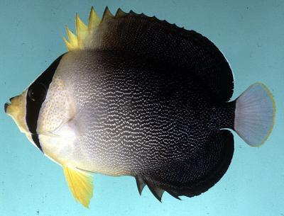 Chaetodontoplus mesoleucus - Mond-Kaiserfisch