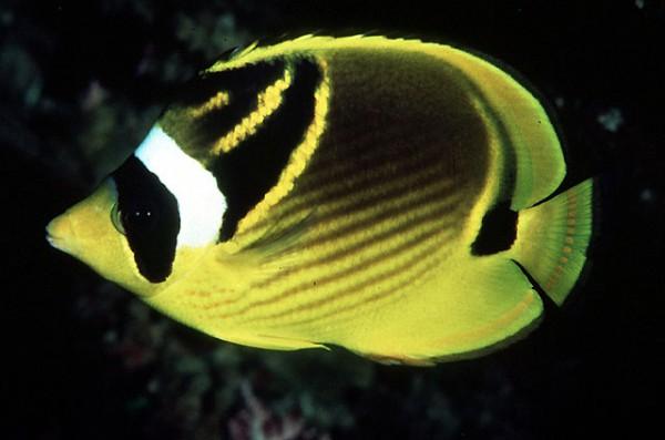 Chaetodon lunula - Mondsichel-Falterfisch