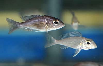 Callochromis macrops - Ndole Red 4-5cm