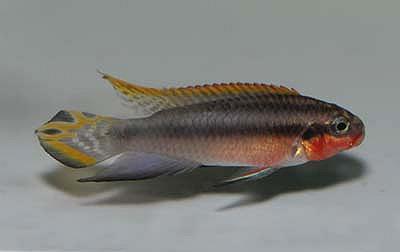 Pelvicachromis taeniatus - Nigeria rot DNZ