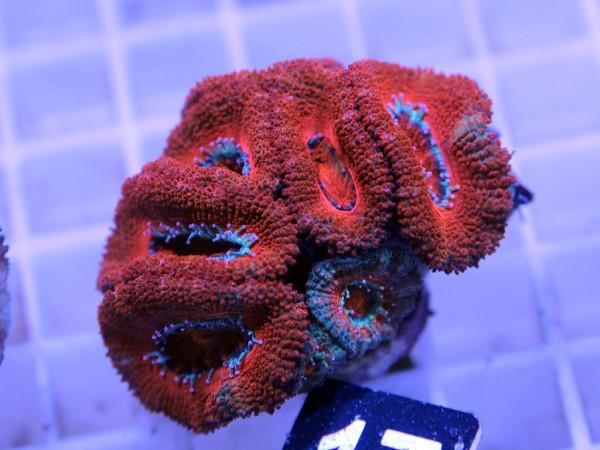 Acanthastrea spec. Frag (17)