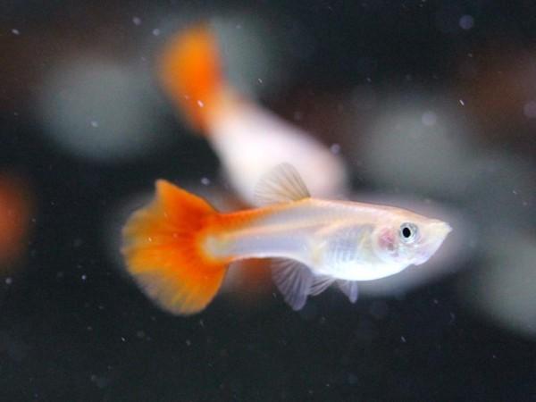 Poecilia reticulata - Rot Guppy Weibchen
