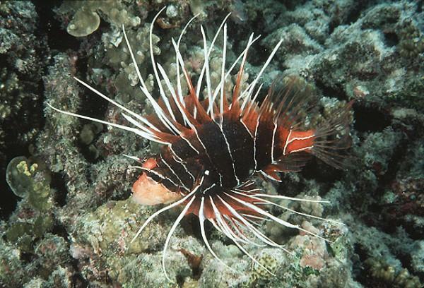 Pterois radiata - Strahlenfeuerfisch