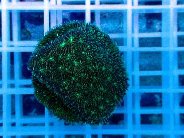 Pavona spec. grün