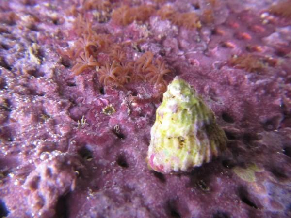 Lithopoma tectum - Karibische Algenschnecke, super Algenfresser
